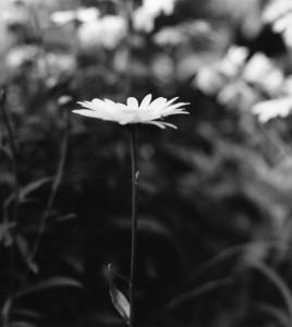 daisy_4001